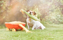 Dog Holding In Mouth Fresh Corn As Harvest Festival And Thanksgiving Concept