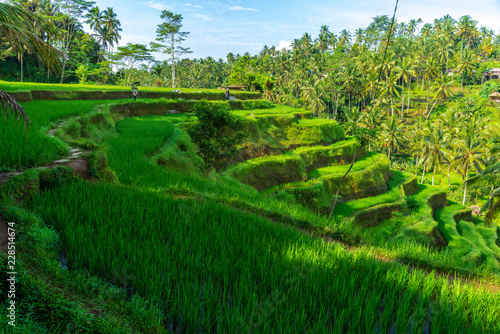 rice fields work