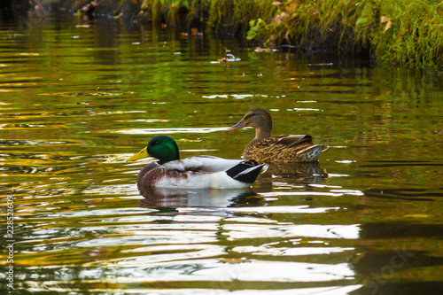 Photo  ducks swim in a canal in the city center in autumn in October