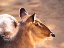 Animal Sitatunga Occidental