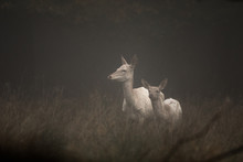 White Colored Red Deer, Cervus...