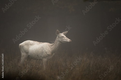 Photo  White colored red deer, Cervus elaphus, female standing in the early morning fog