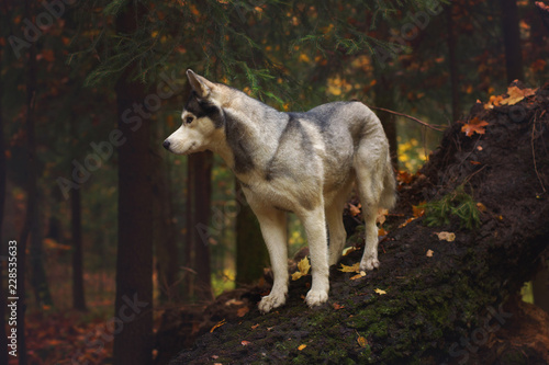 Canvas Prints Wolf A husky breed dog stands on a fallen tree trunk in the forest and looks away.