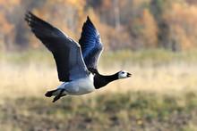 Barnacle Goose Flies