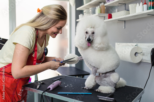 Fotomural Miniature poodle at grooming salon.