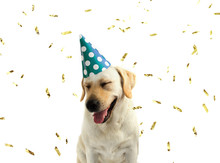 FUNNY AND HAPPY DOG CELEBRATING A BIRTHDAY OR NEW YEAR WITH A GREEN AND WHITE POLKA DOT PARTY HAT. ISOLATED AGAINST WHITE BACKGROUND WITH COPY SPACE AND GOLDEN CONFETTI.