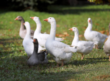 Goose And Ducks Live Peacefull...