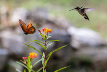 Queen Butterfly And The Hummingbird