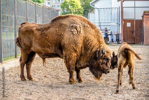 Fotografia, Obraz  European bison is in the cage at the zoo