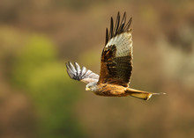 Red Kite In Flight In The Coun...