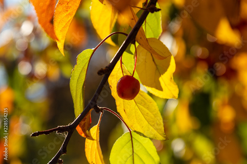Crabapple with autumn leaves on tree - Buy this stock photo