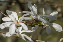 Close-up View Of White Magnolia Tree Flowers