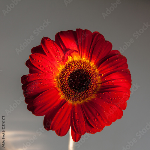 Foto op Plexiglas Gerbera Red gerbera flower on gray background.