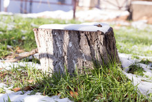 Tree Stump Covered With Snow