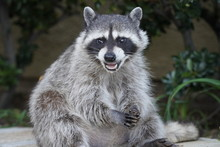 Portrait Of A Raccoon