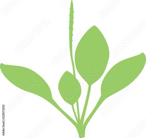 Fotografia, Obraz  Silhouette of Greater plantain or Plantago major