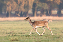 Fallow Deer, Dama Dama, Female...