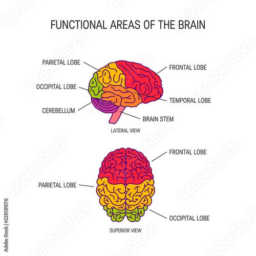 Foto  Human brain vector concept