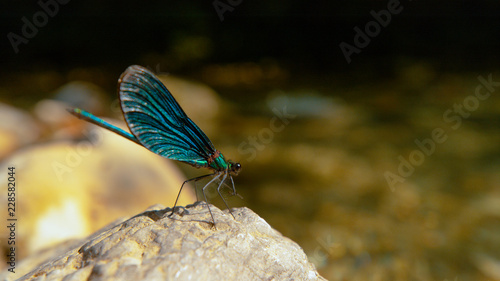 Tuinposter Macrofotografie MACRO: Vibrant blue dragonfly rests on the rock by the calm mountain stream.