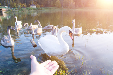 White swans in the pond