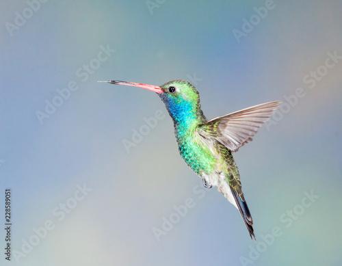 Photo Stands Bird broad-billed hummingbird