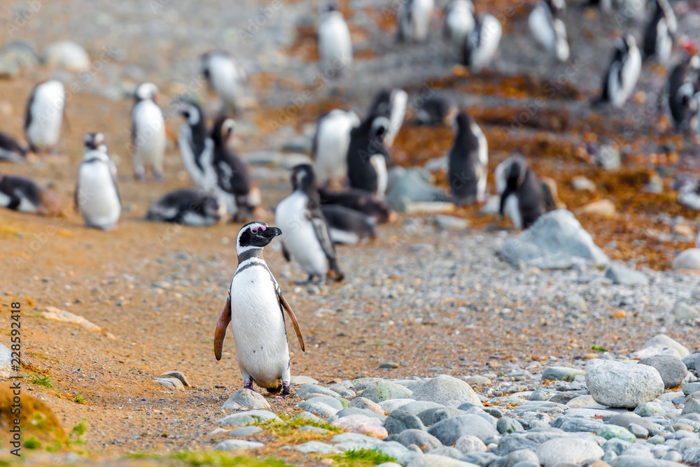A group of Magellanic Penguin, Spheniscus magellanicus, Isla Magdalena, Patagonia, Chile.