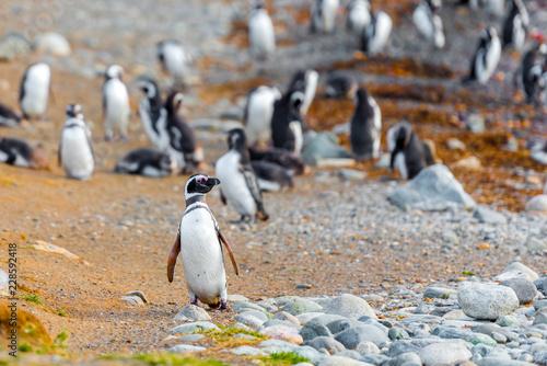 A group of Magellanic Penguin, Spheniscus magellanicus, Isla Magdalena, Patagonia, Chile.