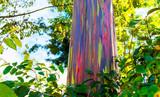 Fototapeta Tęcza - View of the rainbow eucalyptus, Kauai, Hawaii, USA.