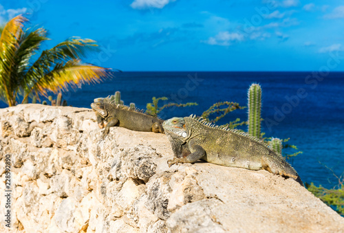 Two iguanas basking in the sun in Playa Lagun, Curacao, Netherlands. Copy space for text.