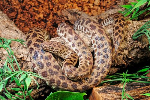 Gefleckter Python (Antaresia childreni) - Children's python