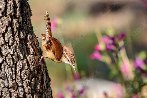 Fotografie, Obraz  Wren hanging on the tree bark