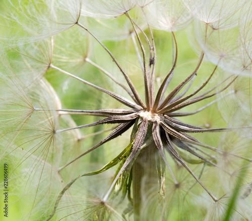 Deurstickers Macrofotografie dandelion macro