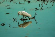 Reflected Snowy Egret