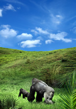 Two Gorillas Walking On Green Landscape Over Blue Cloudy Sky