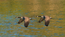 Geese Gaining Ground - A Pair ...