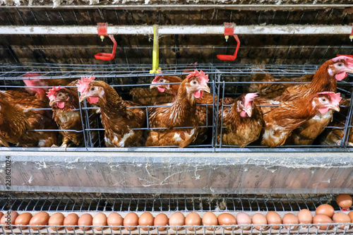 (Blur some of chicken) Multilevel production line conveyor production line of chicken eggs of a poultry farm, Layer Farm housing, Agriculture technological equipment Canvas Print