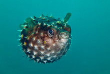 Porcupinefish.  Picture Was Ta...