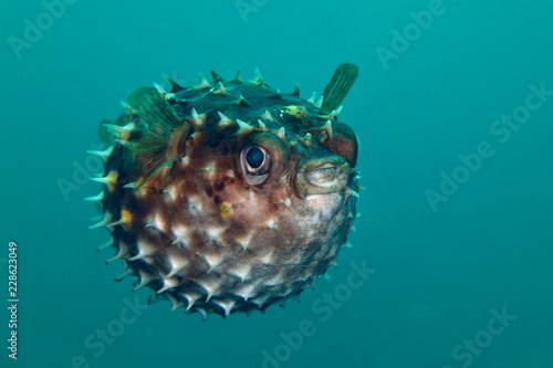 Porcupinefish.  Picture was taken in Lembeh strait, Indonesia Wallpaper Mural