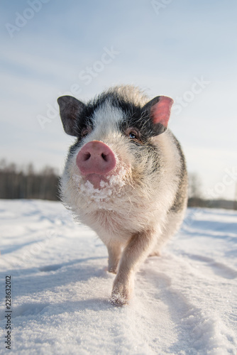 Mini pig on the walk in winter