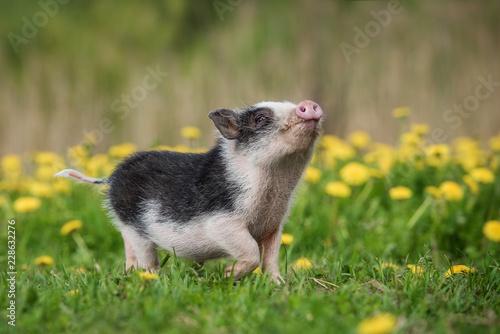 Fotografia, Obraz Mini pig walking on the field with dandelions