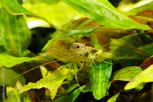 Shrimp in the leaves Cryptocoryne