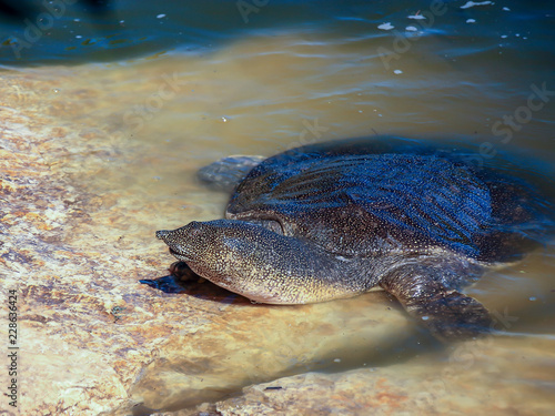 Foto op Aluminium Schildpad A large soft-bodied turtle - Trionychoidea - living in the river Alexander in Israel climbs out of the water onto the rocks
