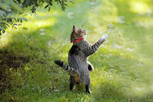 The Domestic Cat Catches Soap Bubbles On A Green Lawn. There Is A Red Collar On The Cat.