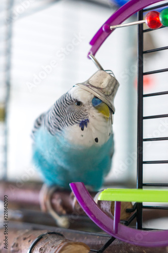 Budgerigar with a bell on his head