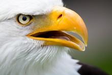 Bald Eagle (Haliaeetus Leucocephalus), Animal Portrait, Captive, North Rhine-Westphalia, Germany, Europe