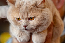 Orange Carthusian Cat Portrait