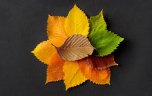 Autumn Leaves Of Elm On Black Paper Background.