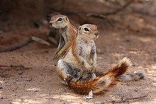 The Cape Ground Squirrel (Xerus Inauris), A Young Individual Sneezes A Resting Mother.Two Sguirel In Desert Sand.
