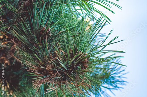 The branches of the Christmas tree. Blue sky. Green needles of pine.