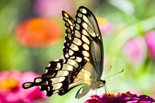 Giant Swallowtail Butterfly, Feeding On A Pink Zinnia